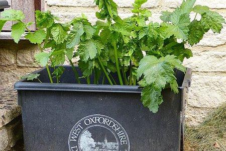 Growing parsnips.jpg