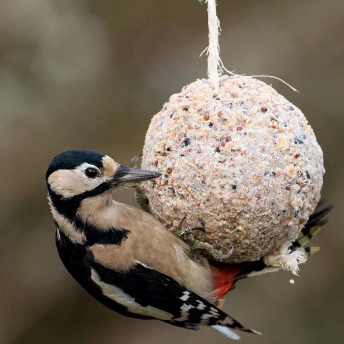 Woodpecker on fat ball.jpg